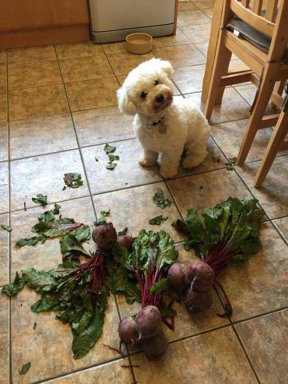 funny bichon frise dog