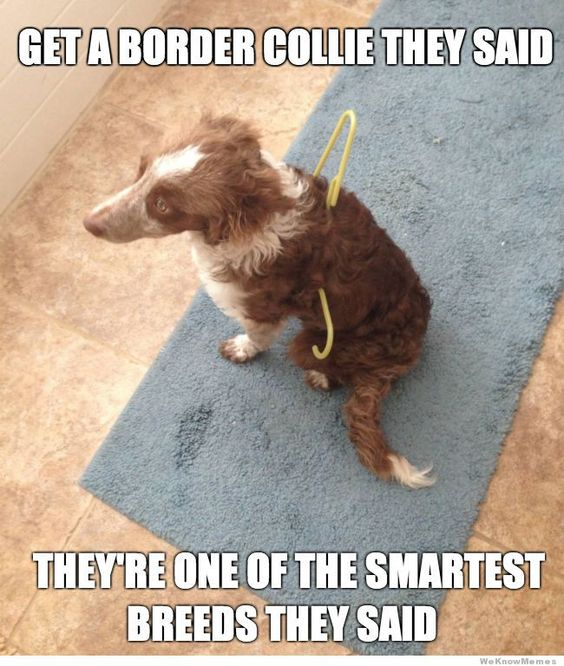 funny border collie meme