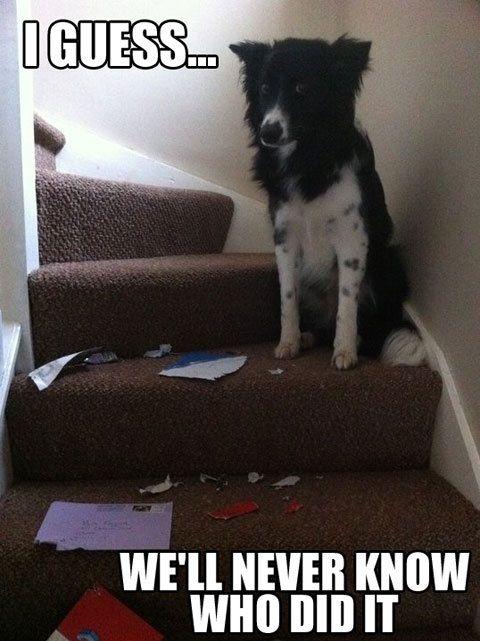 guilty border collie meme