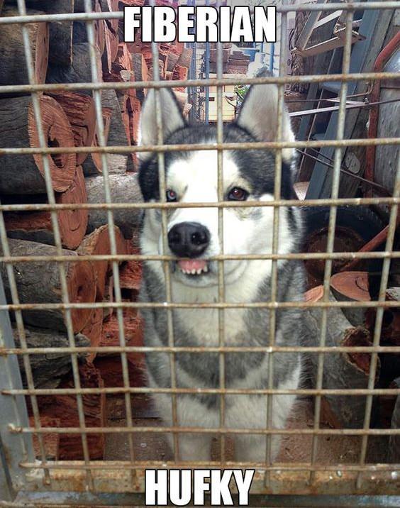 husky dog fence meme