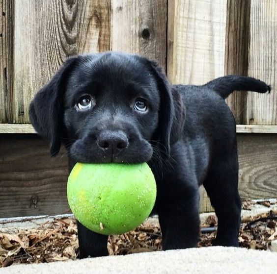 lab puppy with ball
