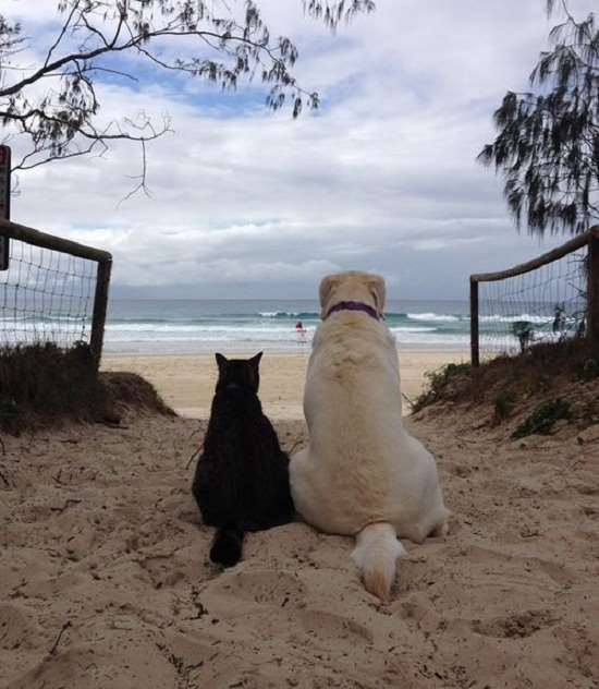 labrador and cat beach