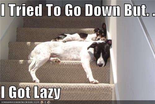 lazy jack russell meme