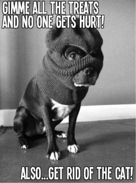 naughty boston terrier meme