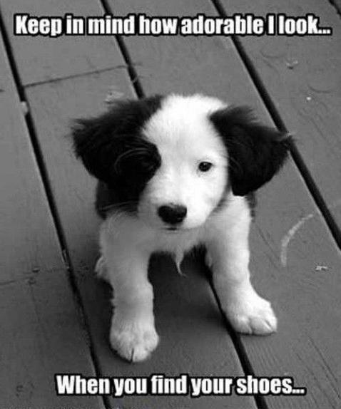 puppy border collie meme