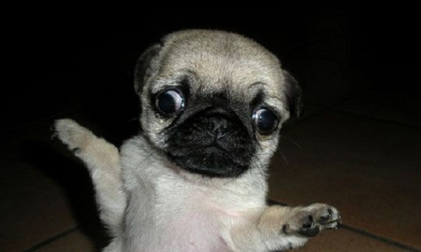 15 Funny Pugs Of The Day