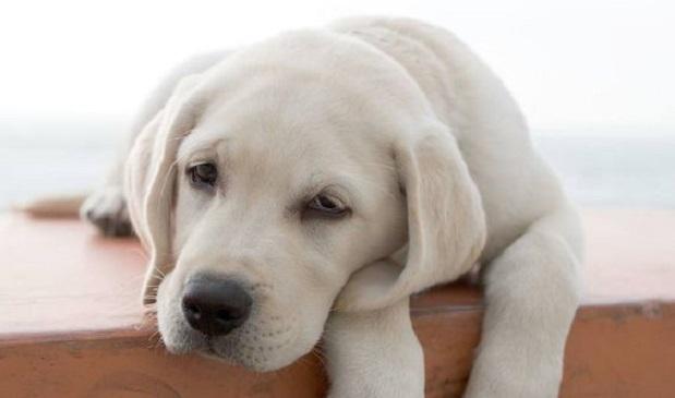 Dog Bloodshot Eyes And Lethargic