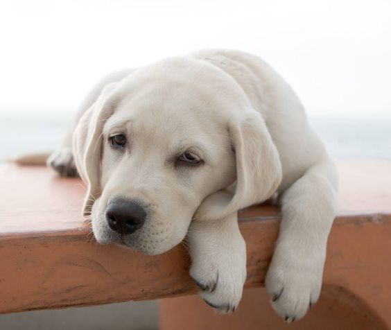 Sleepy Yellow Lab Puppy