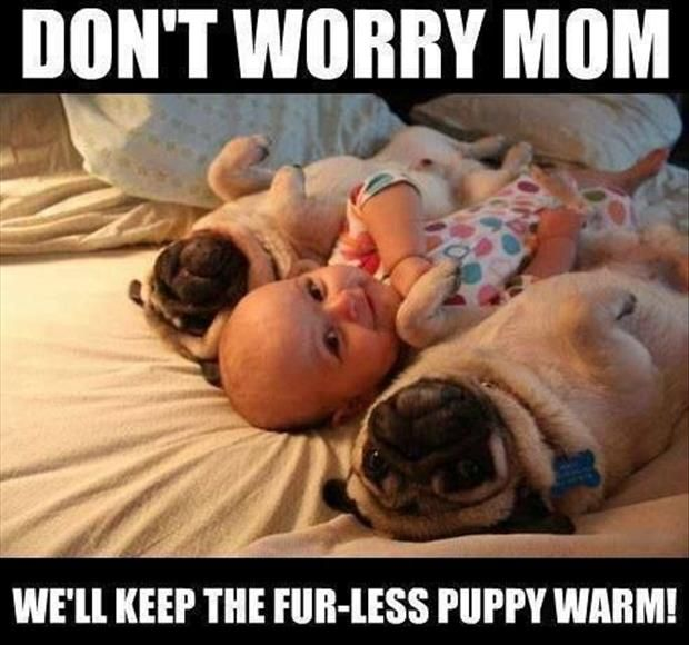 baby pug meme funny