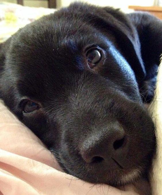 black labrador pup face