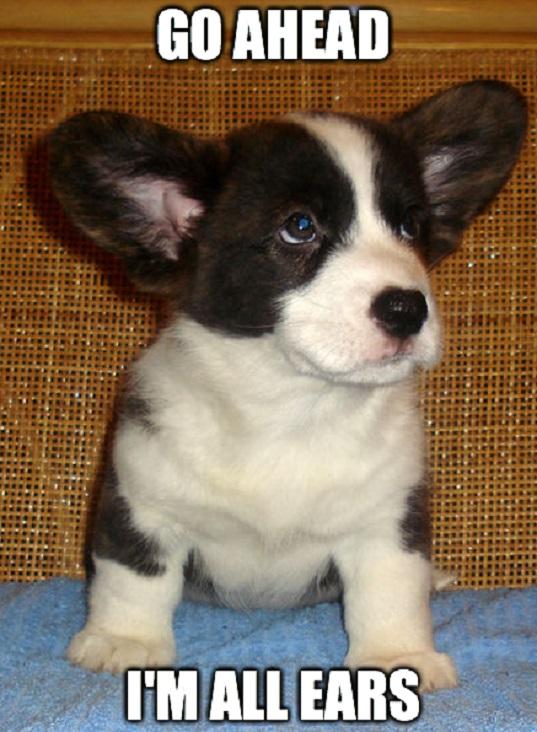 corgi pup listening