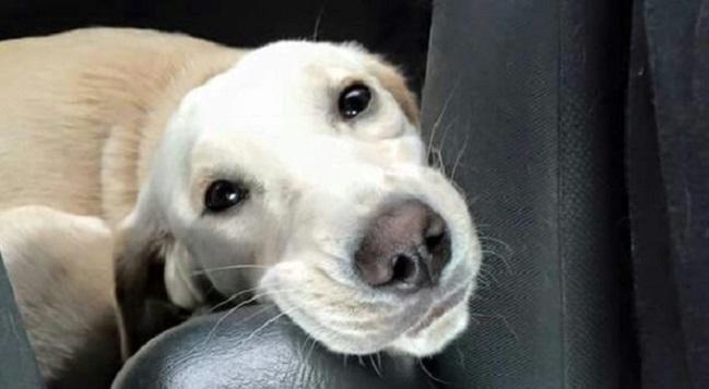 cute eyes retriever dog
