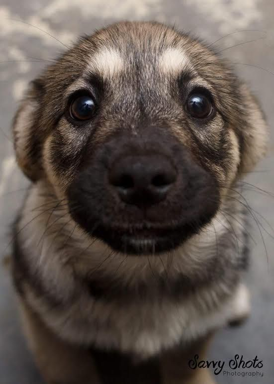 cute german shepherd puppy face eyes