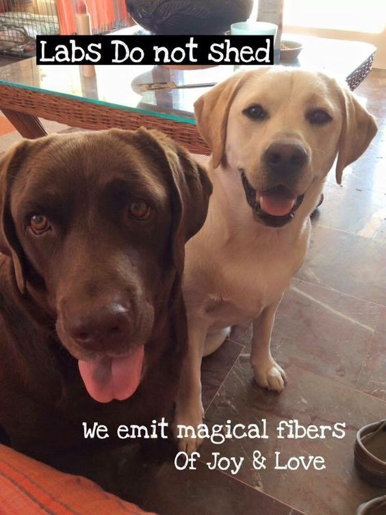 15 Funny Labradors Of The Day