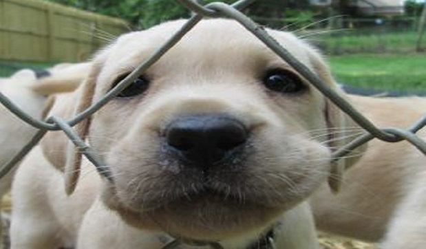 cute labrador pup face little