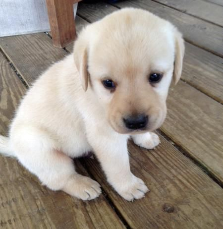 cute labrador retriever puppy lonely