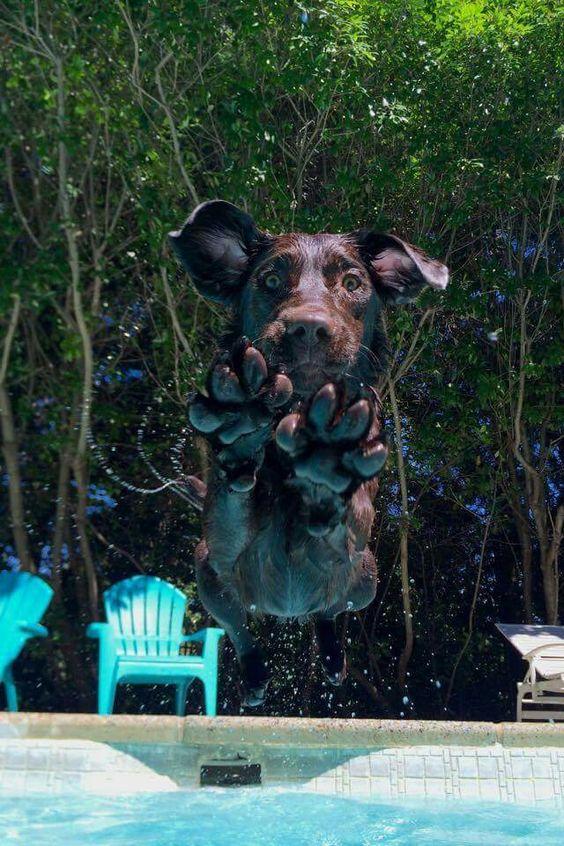 diving labrador dog