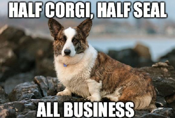 funny dog corgi meme