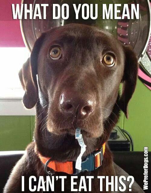 funny labrador meme eat plastic happy birthday meme dog lab alpha beta demo