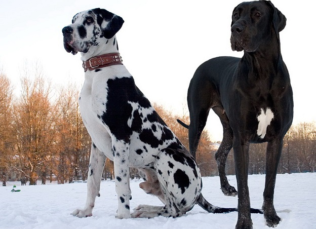 The biggest Dogs on The Planet Earth
