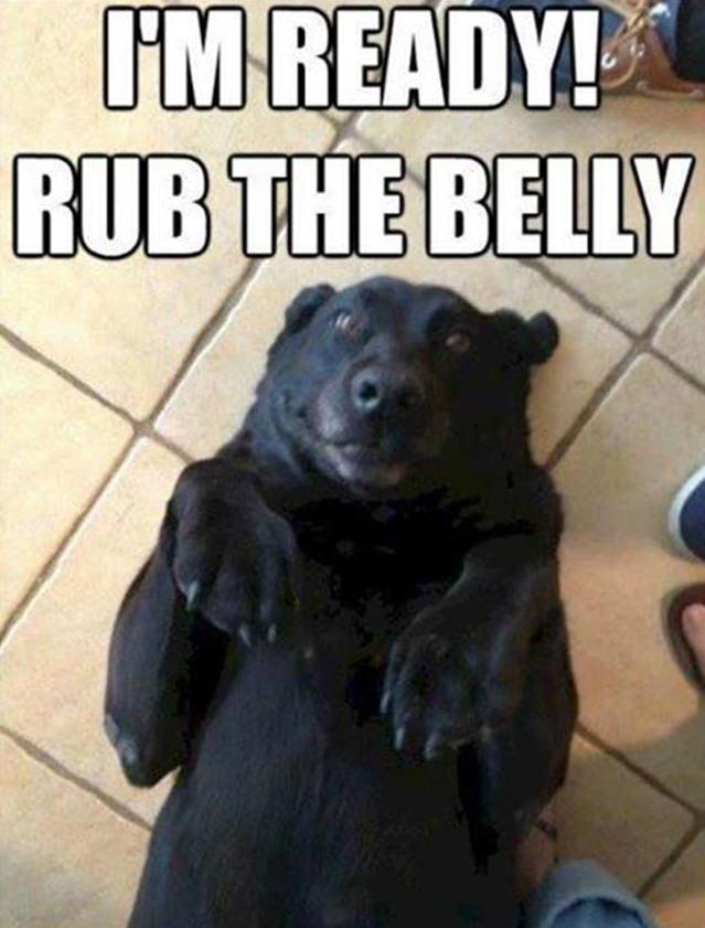 labrador belly rub