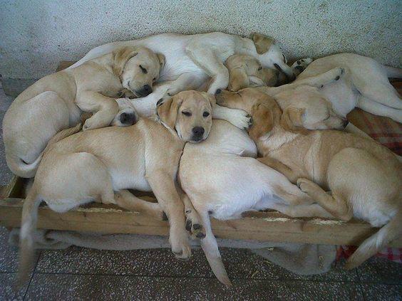 labrador dogs buds sleep