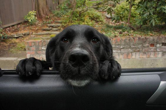 labrador look car