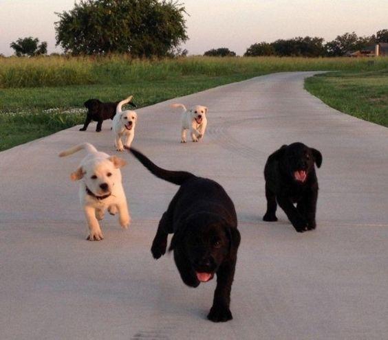 labrador puppies running