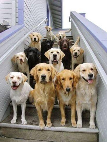 labrador retriever party dogs