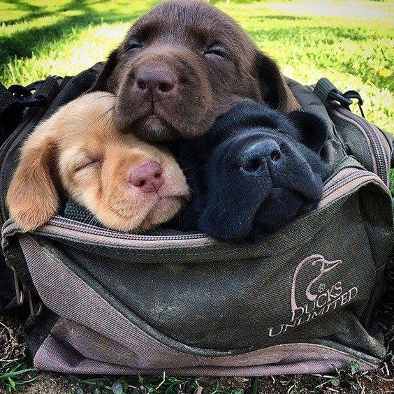 labrador retriever puppies nap time