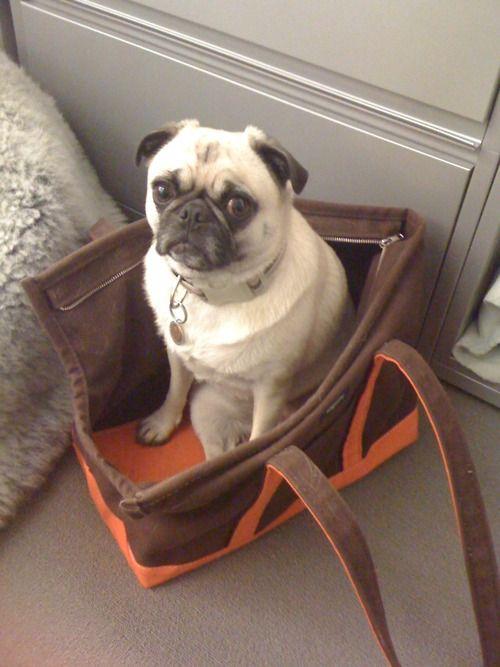 pug in bag