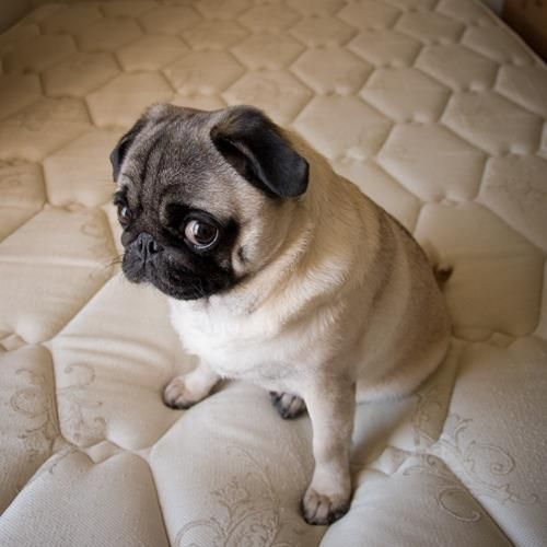 pug on bed