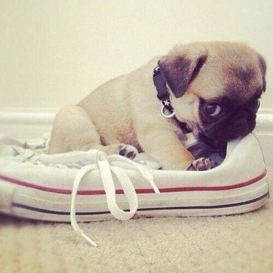 pug puppy chewing shoes