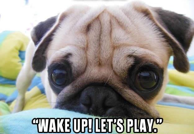 pug wake up
