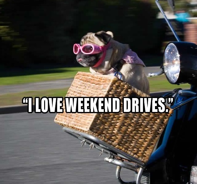 pug weekend meme