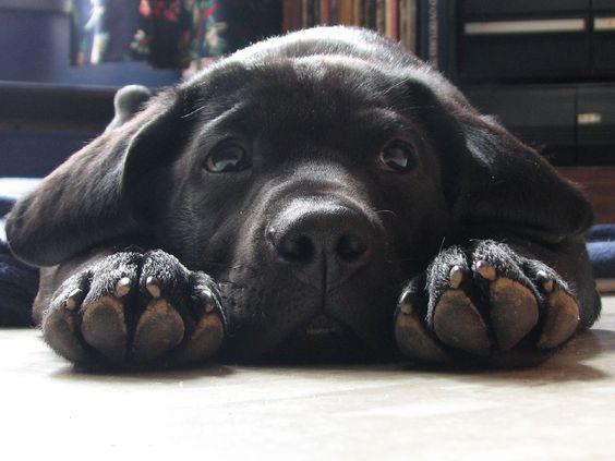 sad labrador face