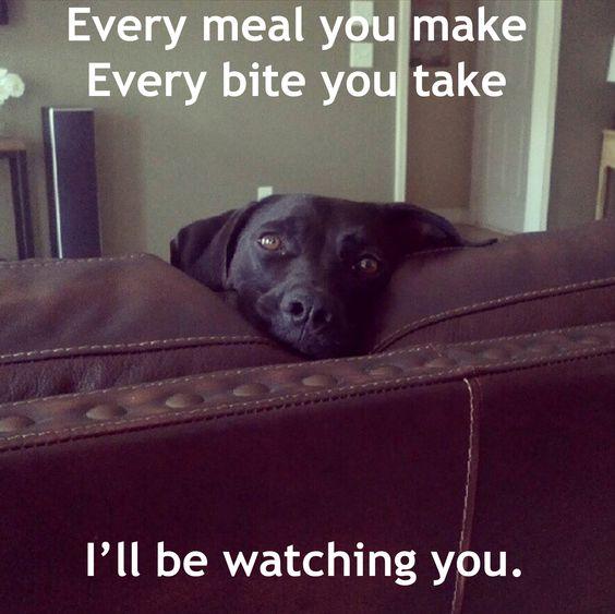 watching meal dog labrador