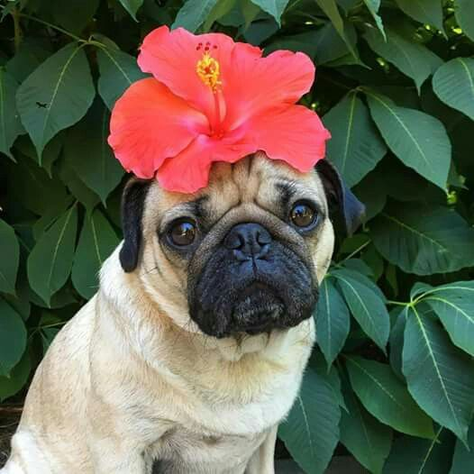 cute pug with red flower