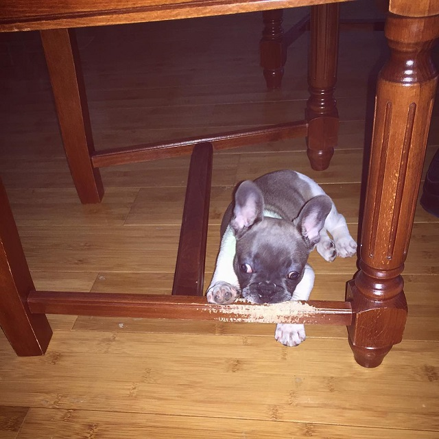 cute pup chewing table
