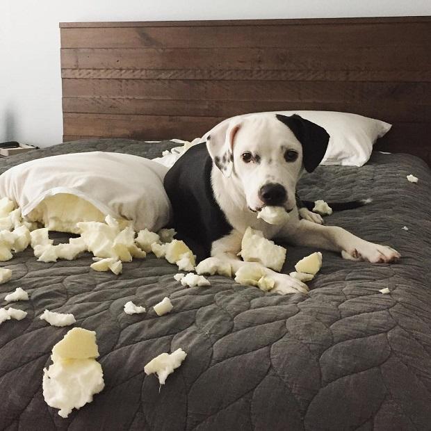 dog mess pit bull