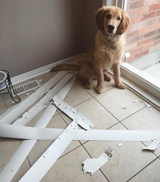 golden labrador mess dog