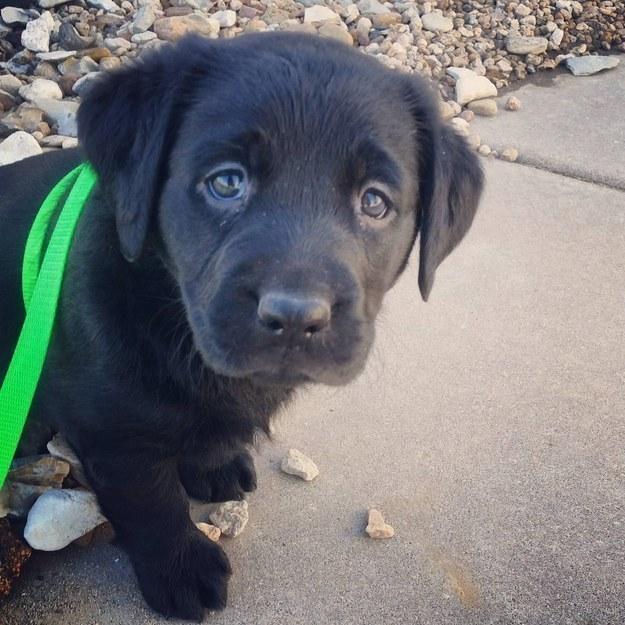 Good Labrador Black Adorable Dog - cute-labrador-black-puppy  Pictures_817632  .jpg