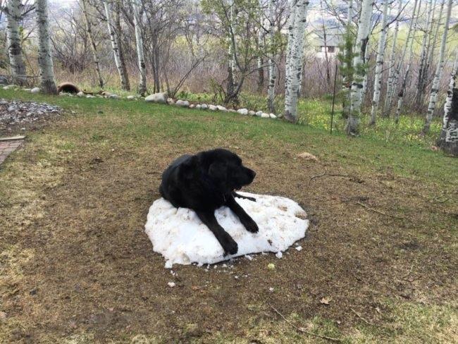 amazing labrador dog
