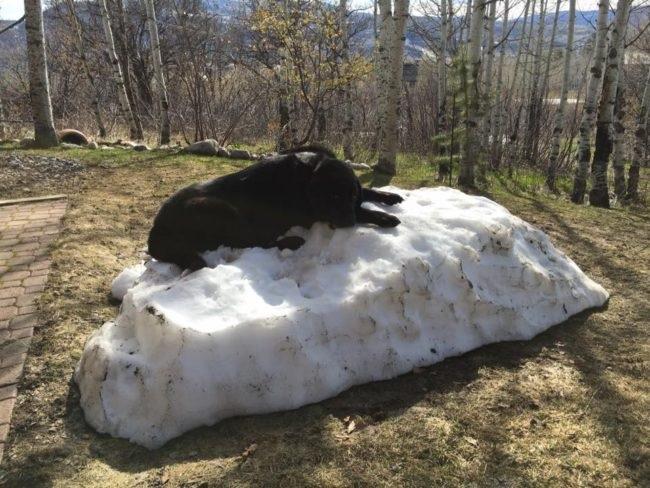black labrador on snow