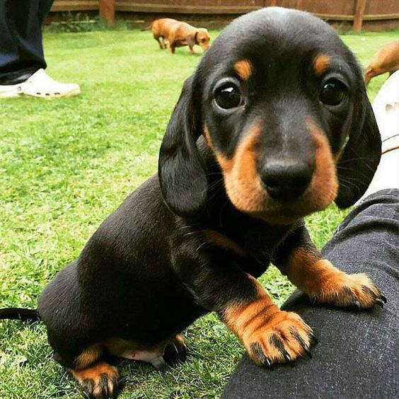 Dachshund cock picture