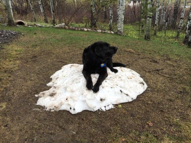 funny black labrador snow
