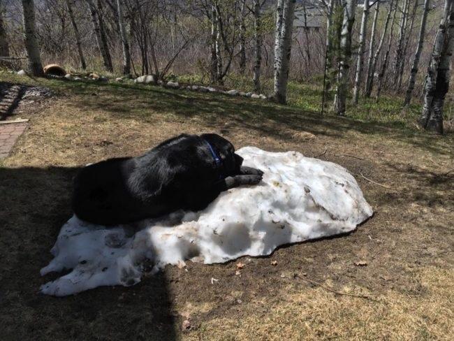 labrador snow retriever
