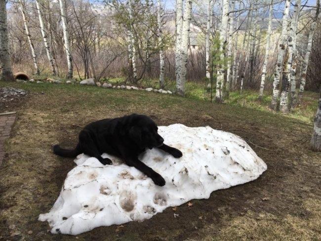 trees labrador dog snow