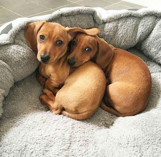 Cute Weiner Dog Puppies