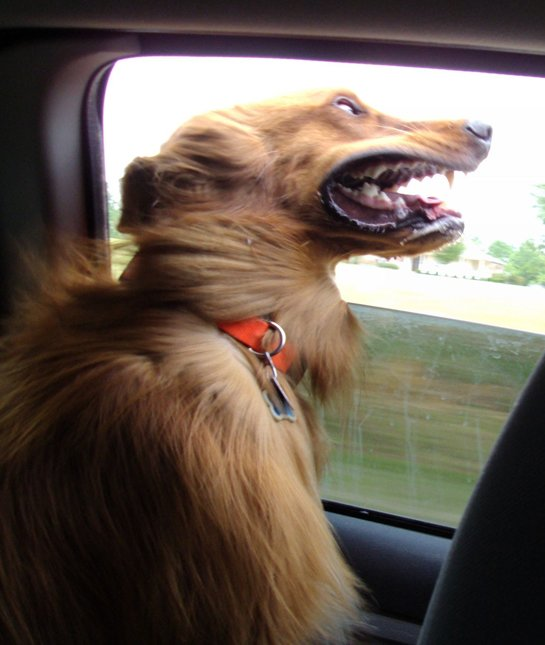 dog wind car